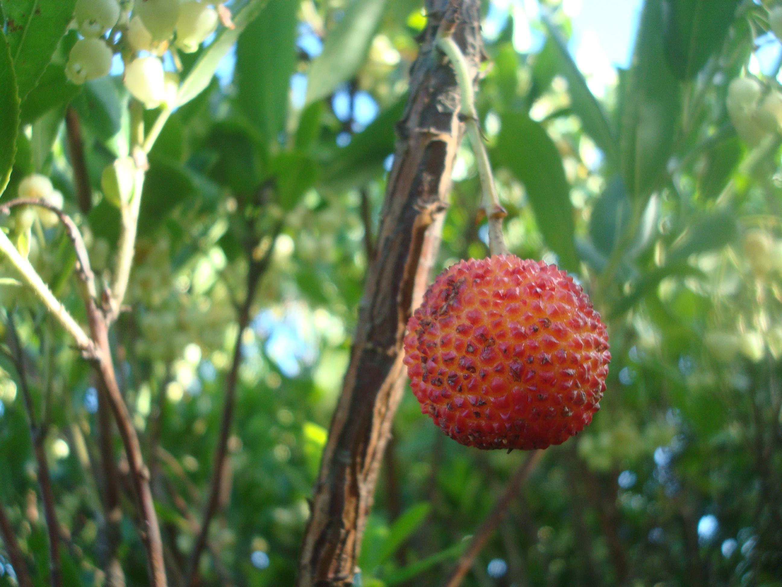 Fruto maduro