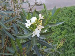 Adelfa Flores